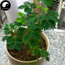 Buy Bashfulgrass Seeds 400pcs Plant Mimosa Pudica For Mimosa Grass