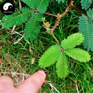 Buy Bashfulgrass Seeds 100pcs Plant Mimosa Pudica For Mimosa Grass