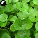 Buy Dichondra Repens Seeds 240pcs Plant Evergreen Grass Dichondra Repens