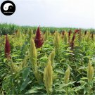 Buy Grain Amaranth Seeds 800pcs Plant Amaranthus Paniculatus Forage Grass