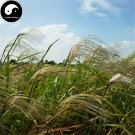 Buy Miscanthus Sinensis Seeds 400pcs Plant Grass Miscanthus Mang Cao