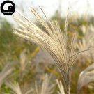Buy Miscanthus Sinensis Seeds 200pcs Plant Grass Miscanthus Mang Cao
