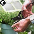 Buy Thymus Vulgaris Seeds 100pcs Plant Vanilla Herb Thymus Mongolicus