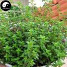 Buy Thymus Vulgaris Seeds 400pcs Plant Vanilla Herb Thymus Mongolicus