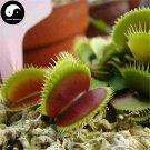 Buy Venus Flytrap Seeds 60pcs Plant Carnivorous Dionaea Insectivorous Grass