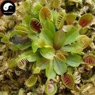 Buy Venus Flytrap Seeds 120pcs Plant Carnivorous Dionaea Insectivorous Grass