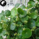 Buy Coins Grass Seeds 30pcs Water Plant Hydrocotyle Chinensis