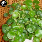 Buy Coins Grass Seeds 60pcs Water Plant Hydrocotyle Chinensis