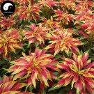 Buy Amaranthus Tricolor Seeds 200pcs Plant Color Leaf Grass Amaranthus