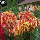 Buy Amaranthus Tricolor Seeds 400pcs Plant Color Leaf Grass Amaranthus