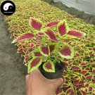 Buy Coleus Scutellarioides Seeds 400pcs Plant Coleus Blumei Grass Color Basil