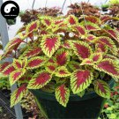 Buy Coleus Scutellarioides Seeds 200pcs Plant Coleus Blumei Grass Color Basil