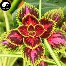 Buy Coleus Scutellarioides Seeds 100pcs Plant Coleus Blumei Grass Color Basil