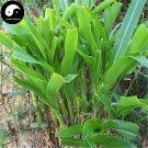 Buy Corngrass Seeds 250pcs Plant Herb Corn Grass Purus Frumentum Forage Grass