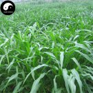 Buy Corngrass Seeds 1000pcs Plant Herb Corn Grass Purus Frumentum Forage Grass