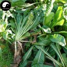 Buy Cichorium Intybus Seeds 200pcs Plant Big Leaf Vegetable Chicory Forage Grass
