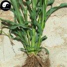 Buy Sorghum Sudanense Seeds 250pcs Plant Sorghum Grass Forage Grass Gao Dan Cao