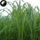 Buy Sorghum Sudanense Seeds 250pcs Plant Sorghum Grass Fish Forage Grass Su Dan Cao