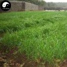 Buy Sorghum Sudanense Seeds 500pcs Plant Sorghum Grass Fish Forage Grass Su Dan Cao