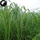Buy Sorghum Sudanense Seeds 1000pcs Plant Sorghum Grass Fish Forage Grass Su Dan Cao