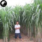 Buy Pennisetum Purpureum Seeds 1000pcs Plant Forage Grass Sugarcane King Grass