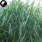 Buy Pennisetum Purpureum Seeds 250pcs Plant Forage Grass Sweet Pennisetum