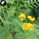 Buy Sesbania Cannabin Seeds 250pcs Plant Forage Grass Sesbania Tian Jing
