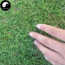 Buy Cynodon Dactylon Grass Seeds 1000pcs Plant Garden Lawn Grass Cynodon