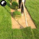 Buy Evergreen Grass Seeds 2000pcs Plant Evergreen Garden Lawn Grass