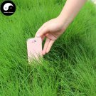 Buy Evergreen Grass Seeds 1000pcs Plant Evergreen Garden Lawn Grass