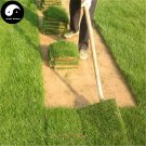 Buy Evergreen Zoysia Japonica Grass Seeds 1000pcs Plant Manilagrass Lawn Grass