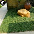 Buy Evergreen Grass Seeds 400pcs Plant Low Ophiopogon Japonicus Lawn Grass