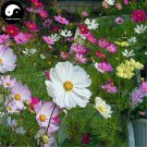 Buy Cosmos Bipinnata Flower Seeds 400pcs Plant Cosmos Flower For Family Garden