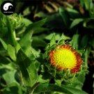 Buy Gaillardia Pulchella Flower Seeds 200pcs Plant Gaillardia Flower Garden