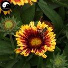 Buy Gaillardia Pulchella Flower Seeds 400pcs Plant Gaillardia Flower Garden