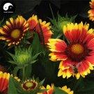 Buy Gaillardia Pulchella Flower Seeds 800pcs Plant Gaillardia Flower Garden