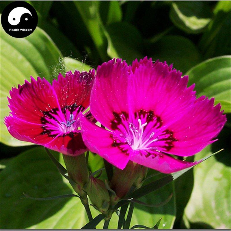Buy Multicolored Carnation Flower Seeds 200pcs Plant Dianthus Barbatus Flower