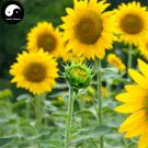 Buy Rudbeckia Laciniata Flower Seeds 400pcs Plant Garden Rudbeckia Flower