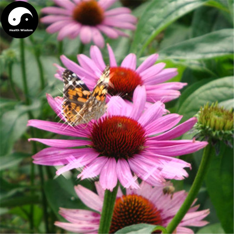 Buy Echinacea Flower Seeds 400pcs Plant Garden Echinacea Purpurea Flowers