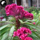 Buy Cockscomb Flower Seeds 150pcs Plant Garden Celosia Cristata Flowers