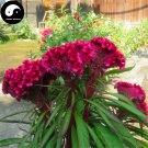 Buy Cockscomb Flower Seeds 300pcs Plant Garden Celosia Cristata Flowers