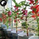 Buy Impatiens Balsamina Flower Seeds 240pcs Plant Impatiens Balsamine Flowers