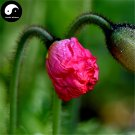 Buy Field Poppy Flower Seeds 100pcs Plant Papaver Rhoeas Flowers Flanders Poppy