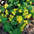 Buy Chinese Camomile Flower Seeds 800pcs Plant Wild Herb Flowers Chrysanthemum