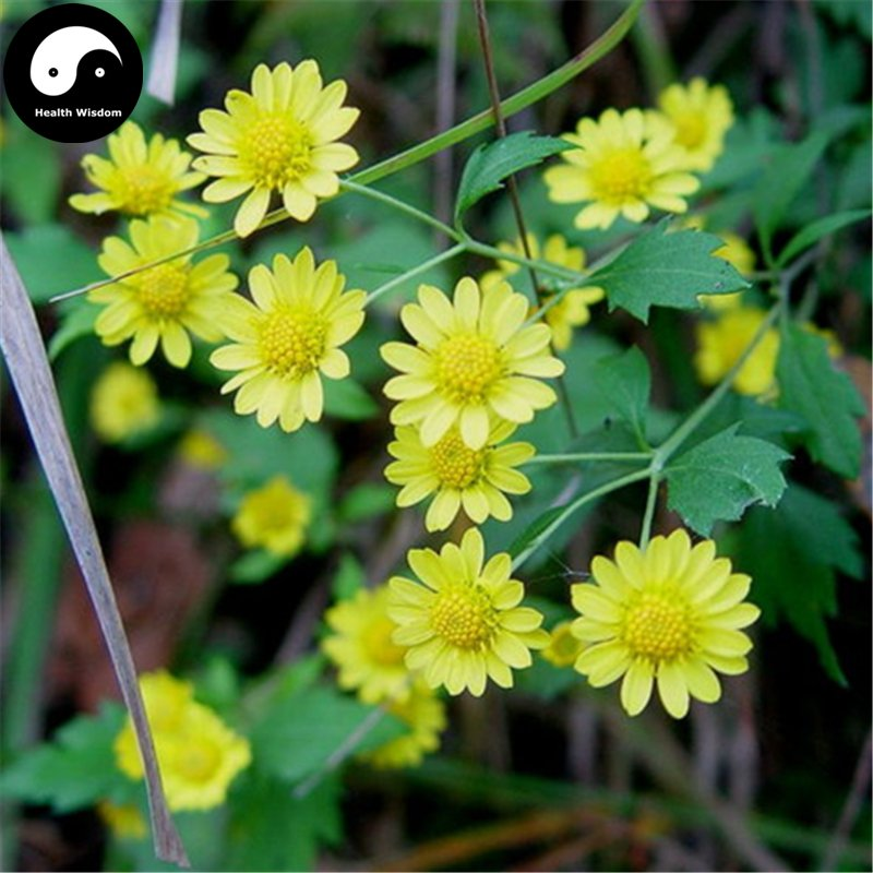 Buy Chinese Camomile Flower Seeds 400pcs Plant Wild Herb Flowers Chrysanthemum