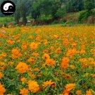 Buy Cosmos Sulphureus Flower Seeds 200pcs Plant Flowers Chrysanthemum Garden