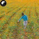 Buy Cosmos Sulphureus Flower Seeds 800pcs Plant Flowers Chrysanthemum Garden