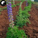Buy Lupin Flower Seeds 60pcs Plant Garden Flowers Lupiuns Polyphyllus