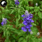 Buy Salvia japonica Flower Seeds 200pcs Plant Blue Flowers Sage Garden