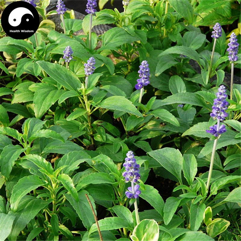 Buy Salvia japonica Flower Seeds 400pcs Plant Blue Flowers Sage Garden
